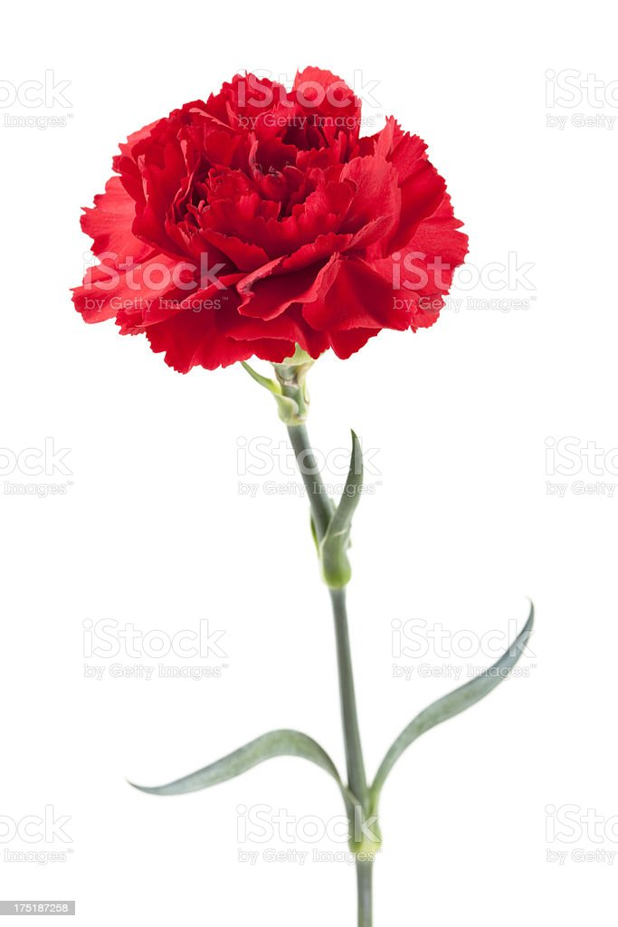 Isolated Red Carnation stock photo