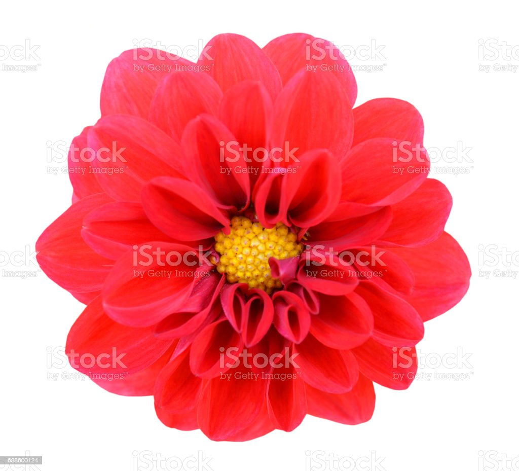 isolated red dahlia over white background stock photo