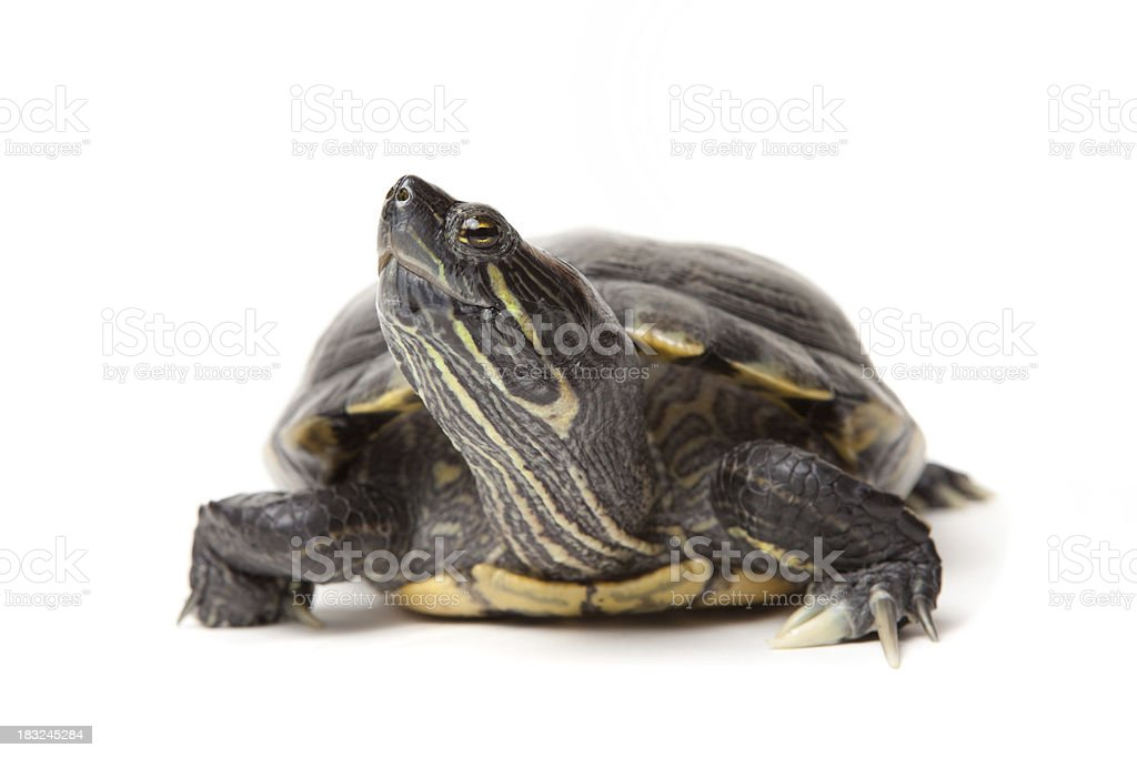 Isolated Red Eared Slider Turtle stock photo