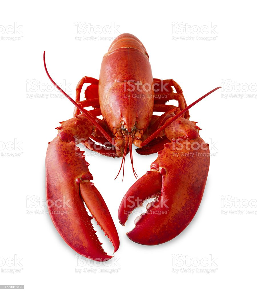 Isolated red lobster stock photo