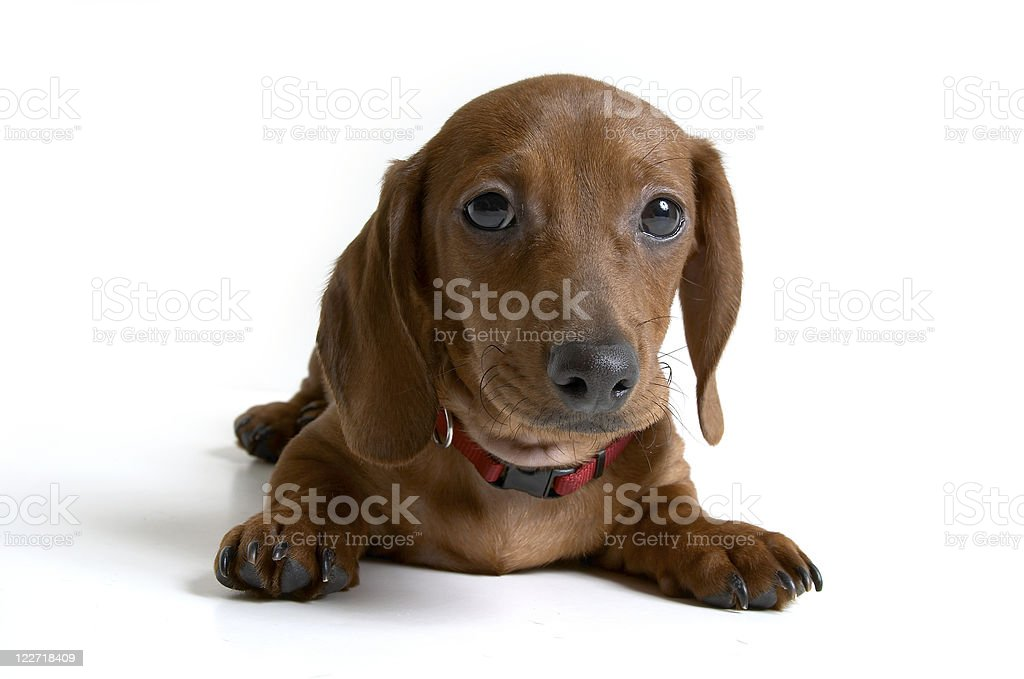 Isolated Red Mini Dachshund Dog / Puppy royalty-free stock photo