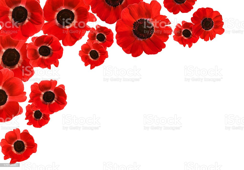 Isolated Red Poppies with copy space (XXL) royalty-free stock photo