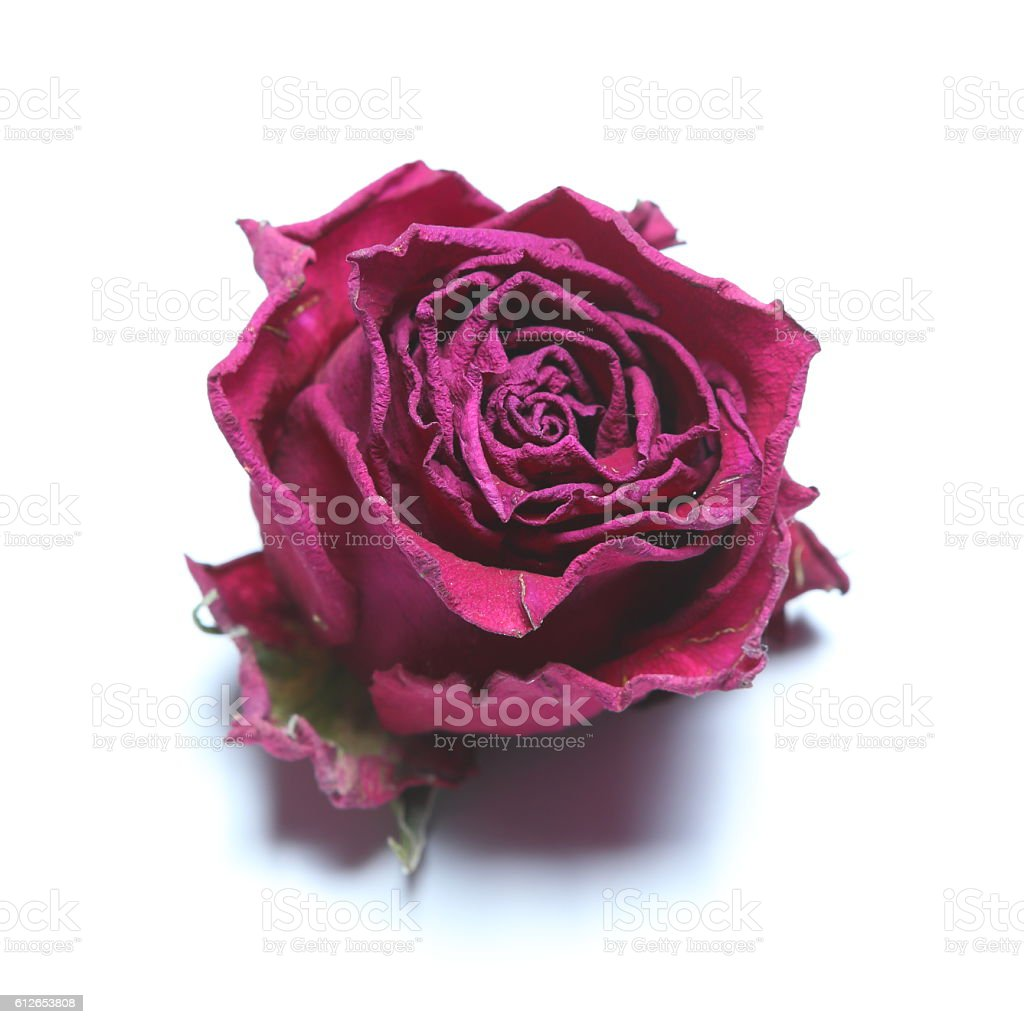 Isolated Red rose bloom stock photo