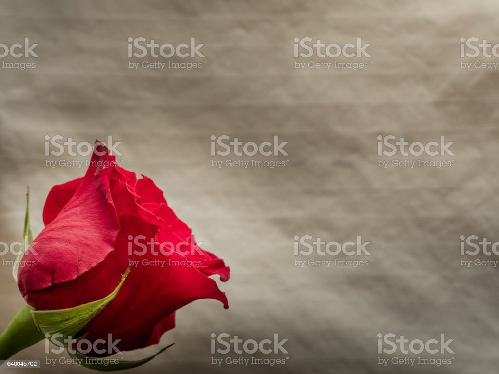 Isolated red rose blossom on neutral background stock photo