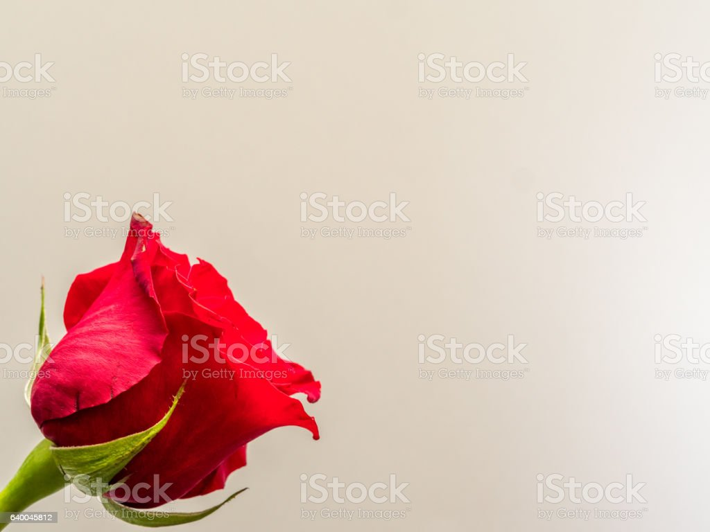 Isolated red rose blossom on white background stock photo