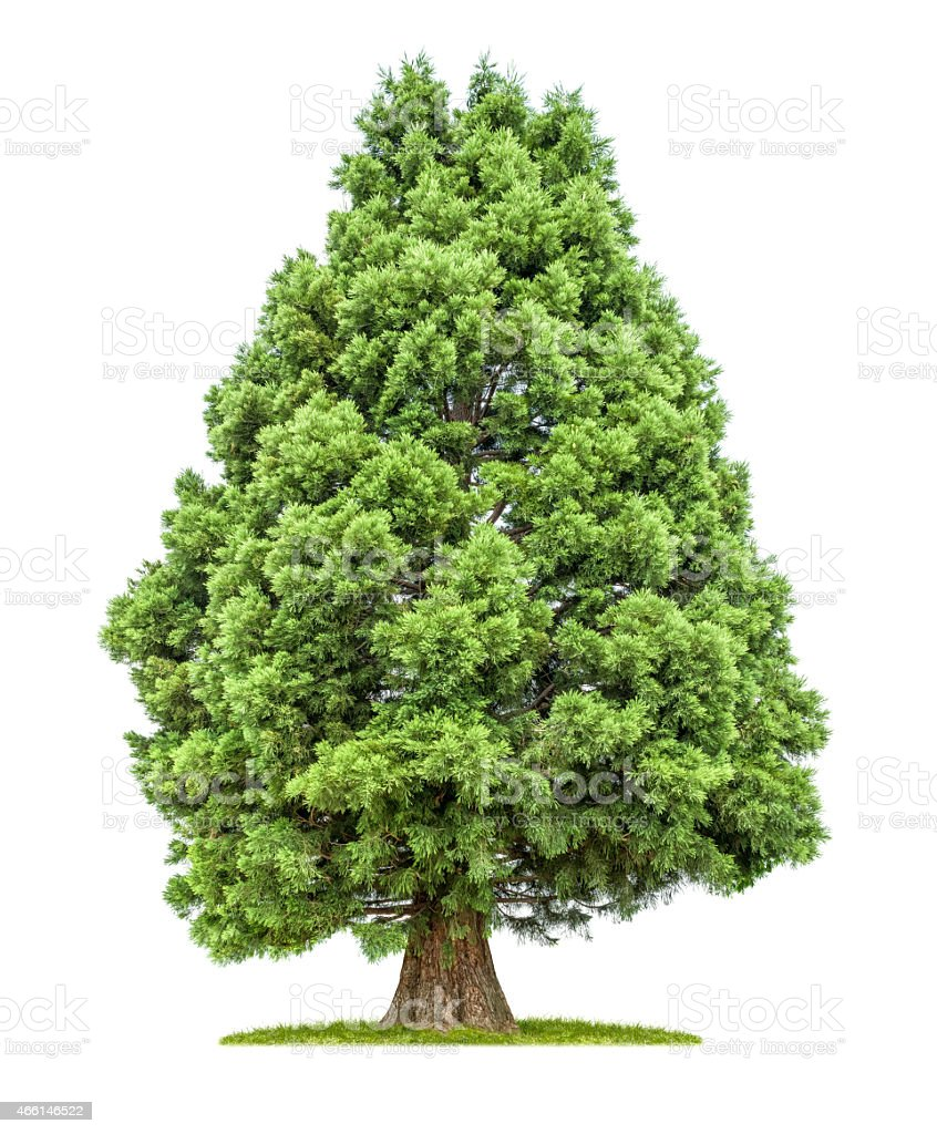 isolated redwood tree on a white background stock photo