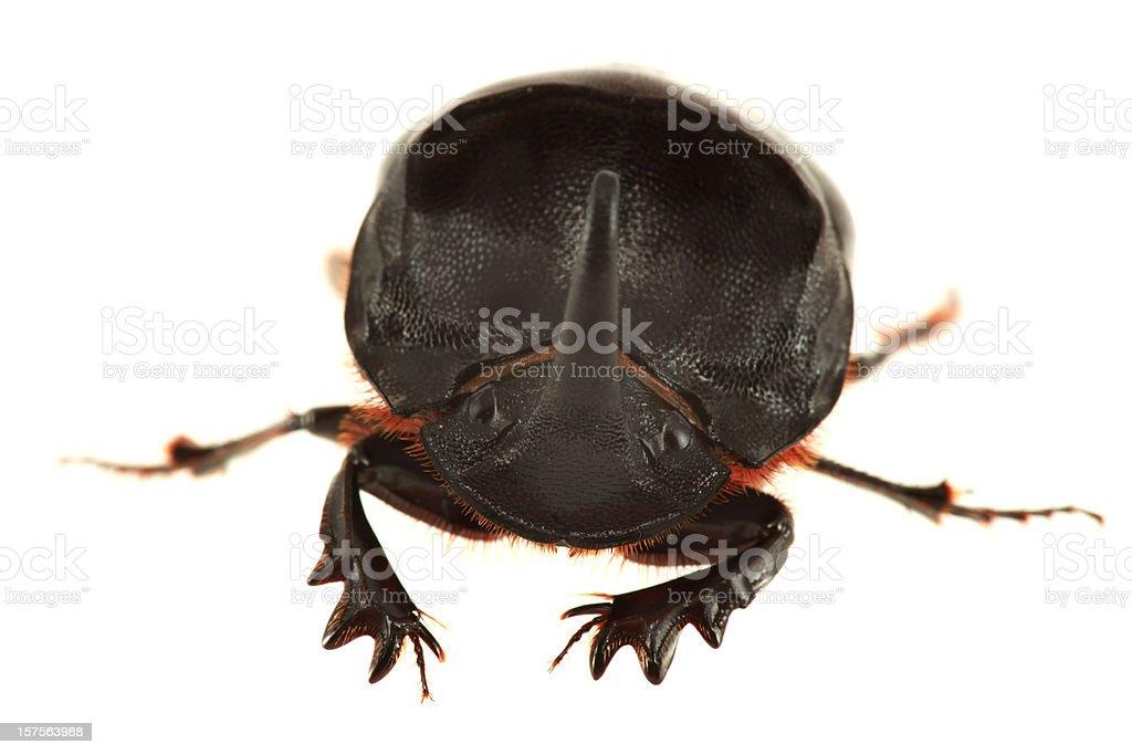 Isolated Rhinoceros Beetle  (XXXL) stock photo