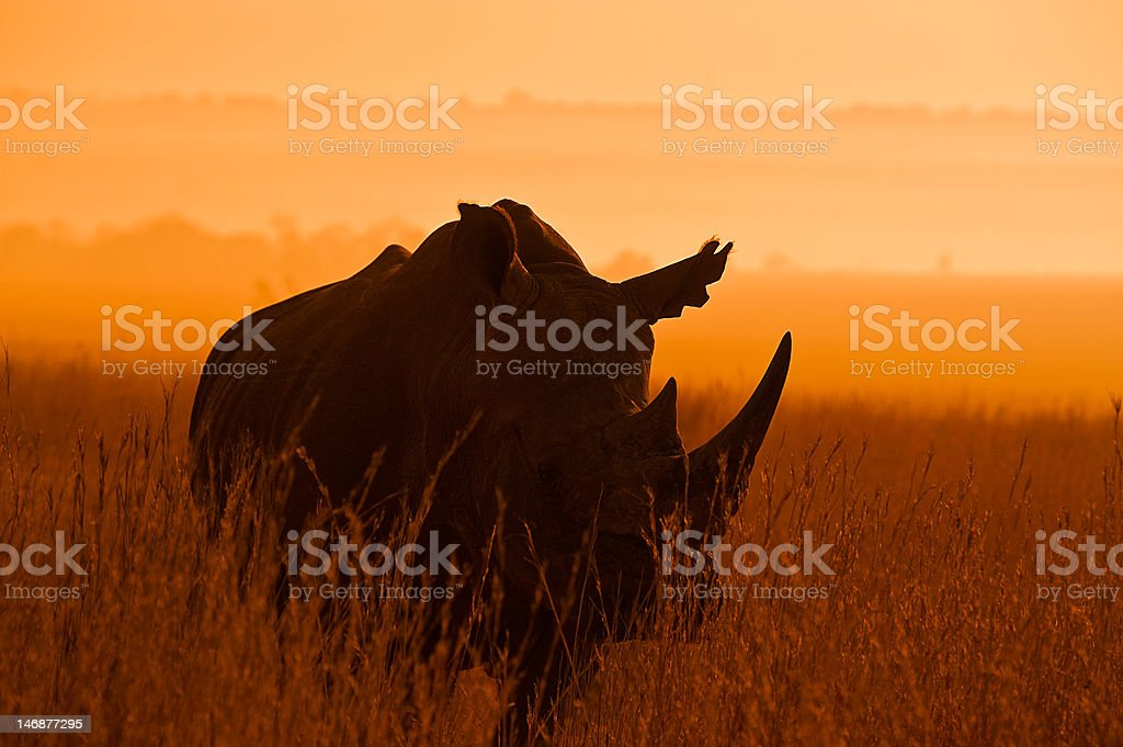 Isolated Rhinoceros silhouetted against and African sunrise stock photo