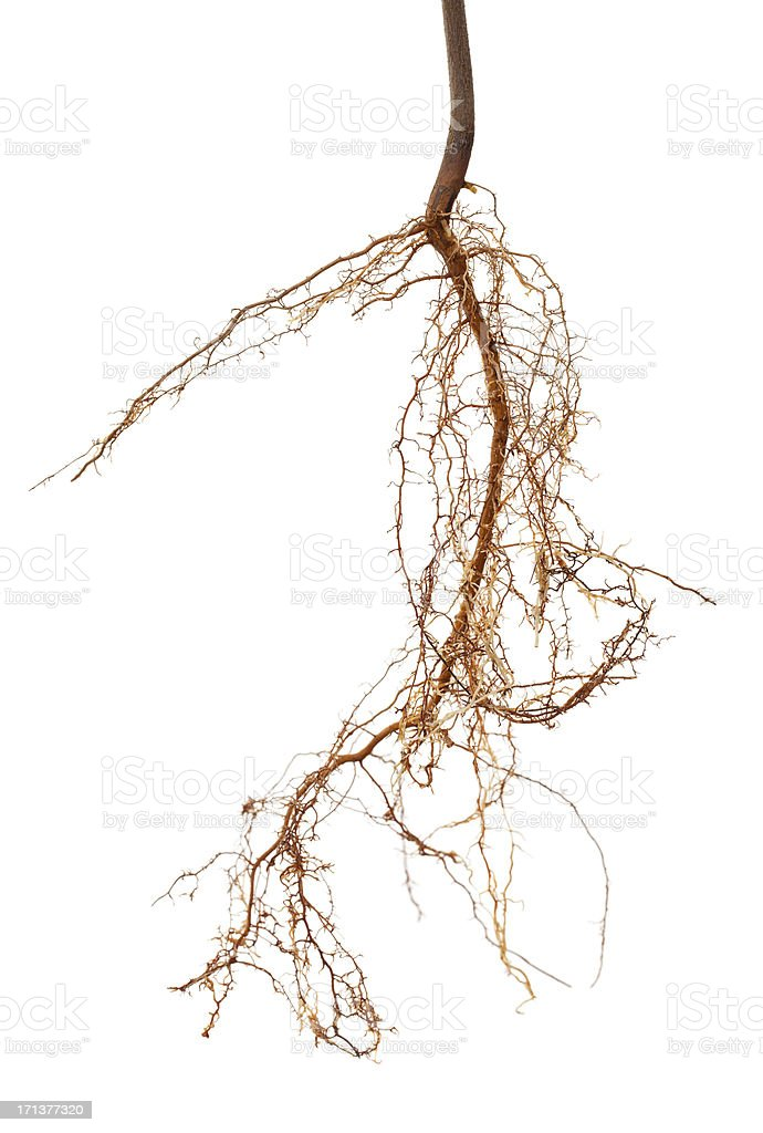 Isolated Roots stock photo