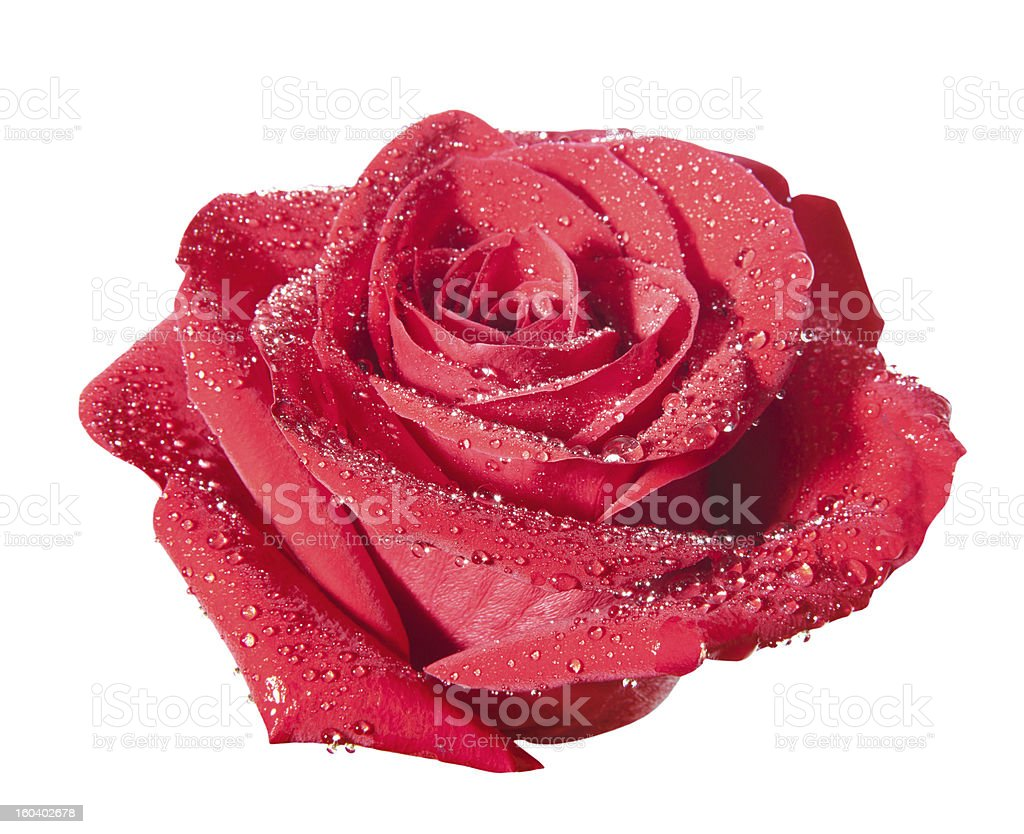 isolated rose with path stock photo