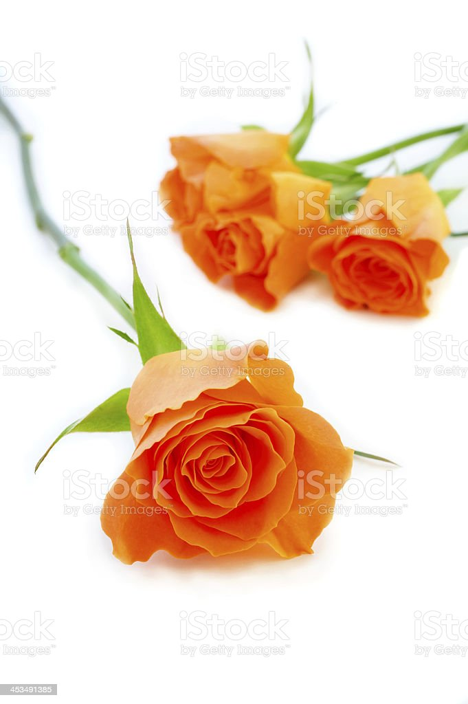 Isolated roses royalty-free stock photo
