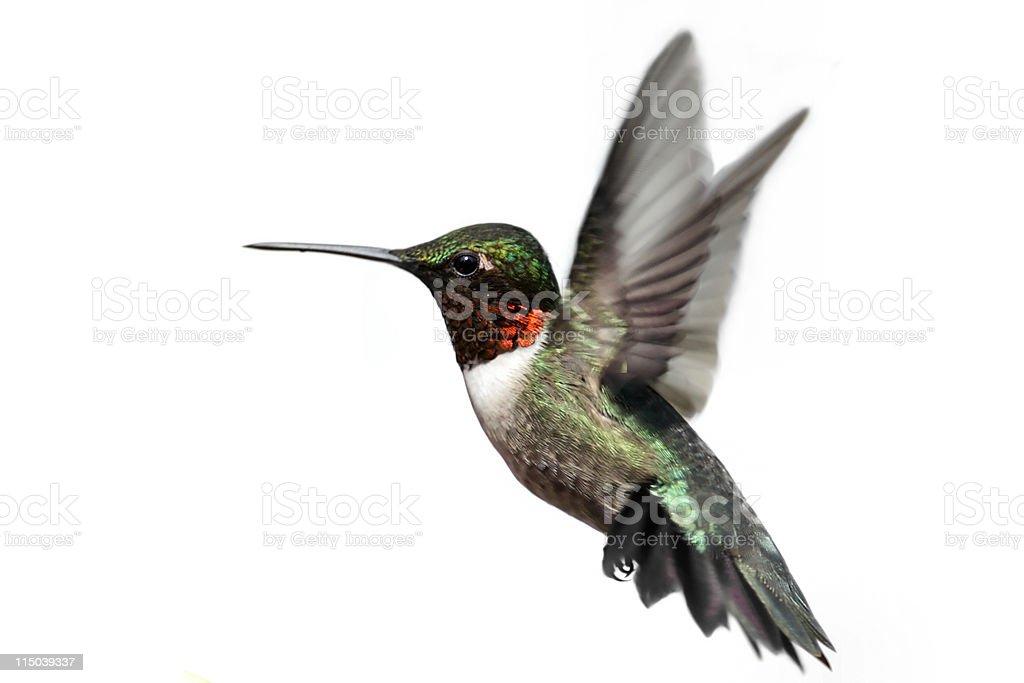 Isolated Ruby-throated Hummingbird stock photo