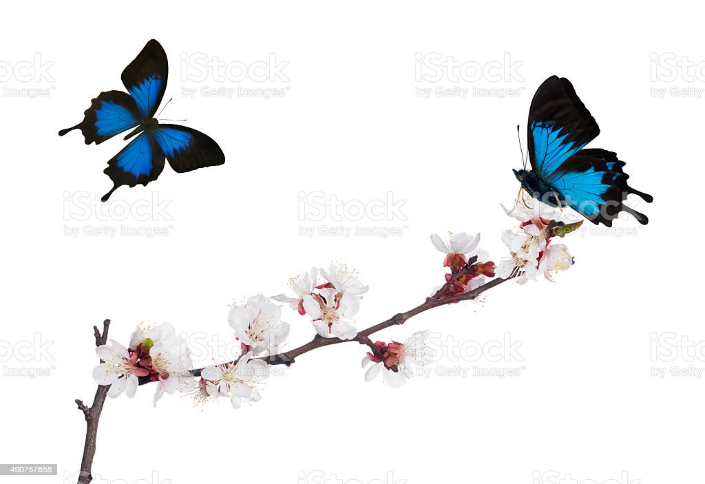 isolated sakura blooms and two blue butterflies stock photo