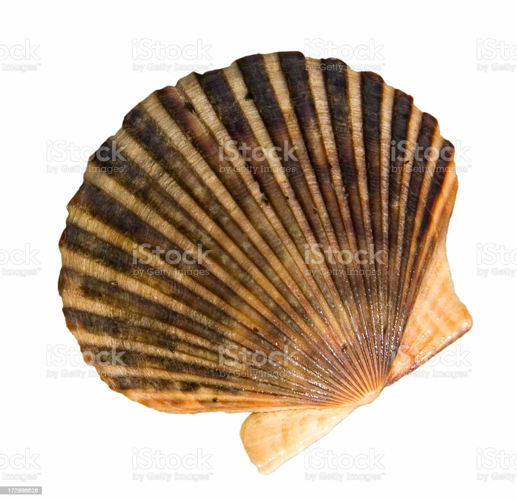 Isolated Scallop Shell stock photo