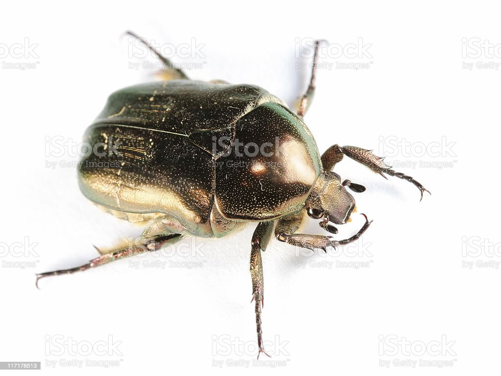 Isolated Scarab royalty-free stock photo