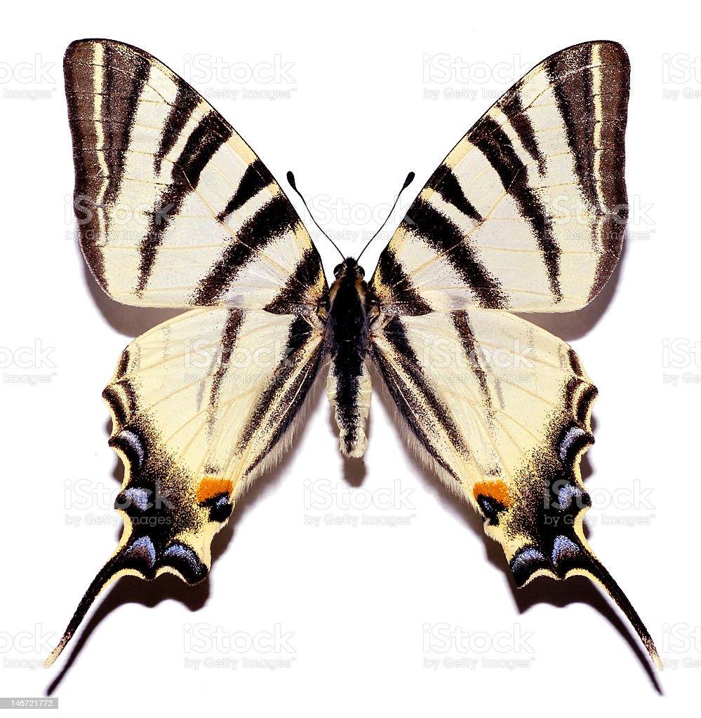 Isolated scarce swallowtail royalty-free stock photo