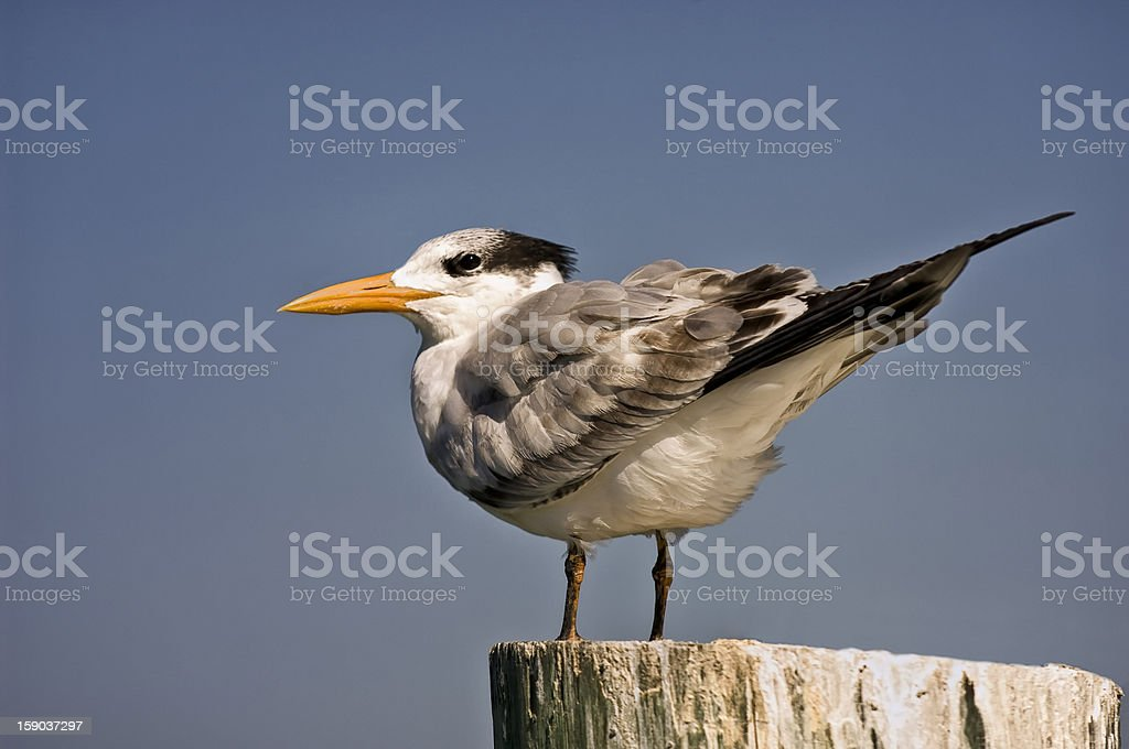 Isolated Seagull on Pole royalty-free stock photo