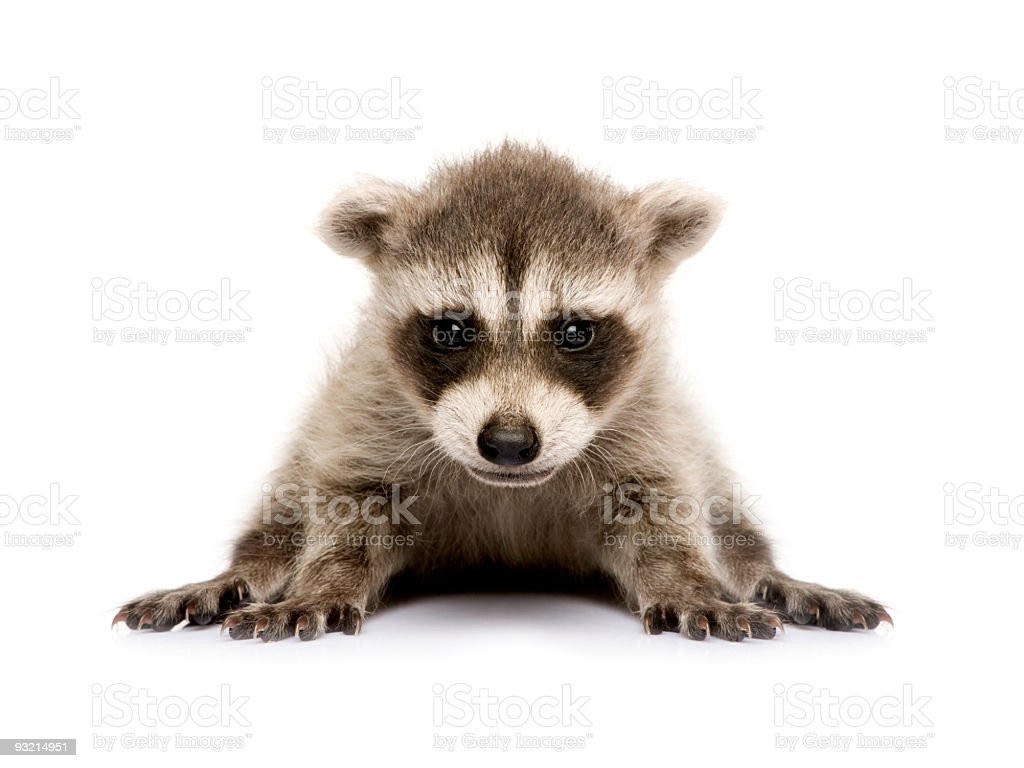 Isolated shot of a six-week-old baby raccoon stock photo