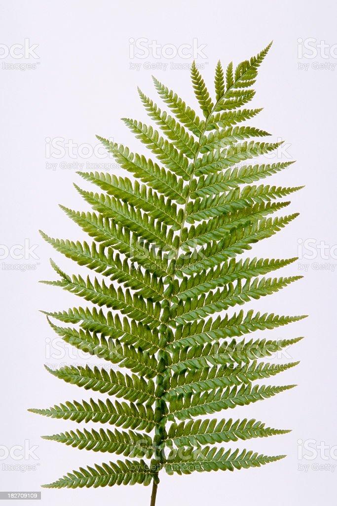 Isolated shot of beautiful fern on white background stock photo