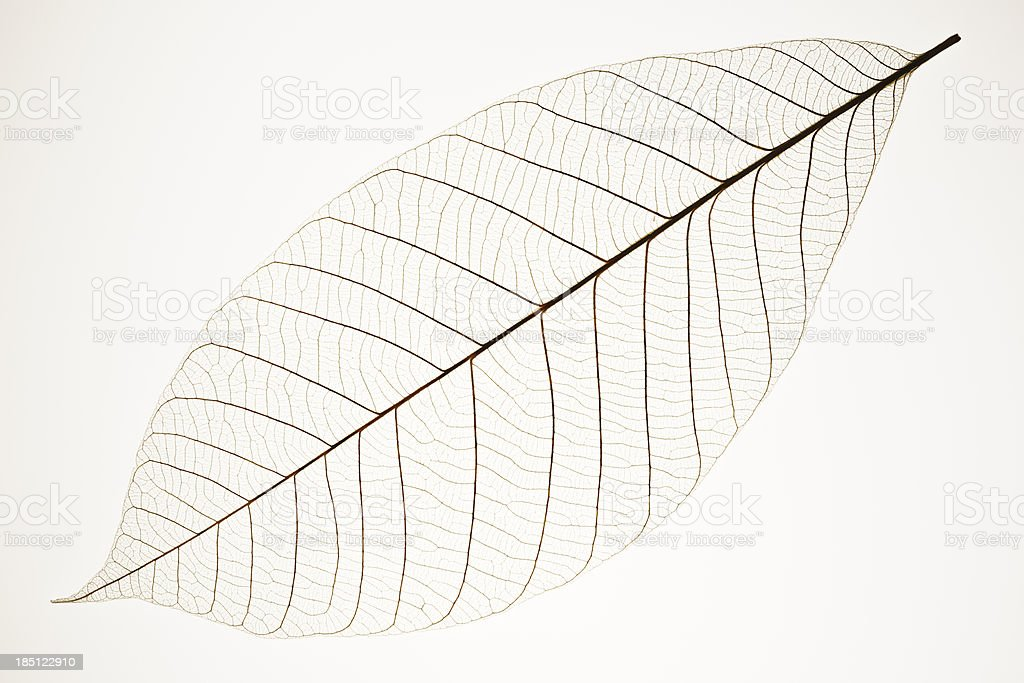 Isolated shot of perfect leaf veins on white background stock photo