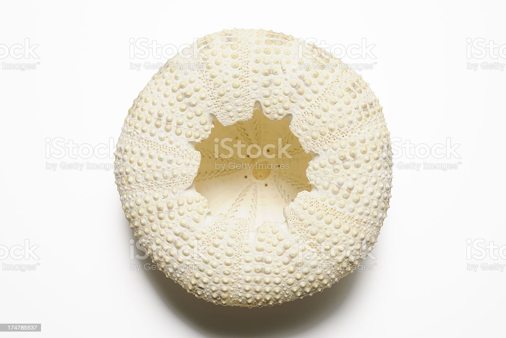 Isolated shot of sea urchin on white background with shadow stock photo