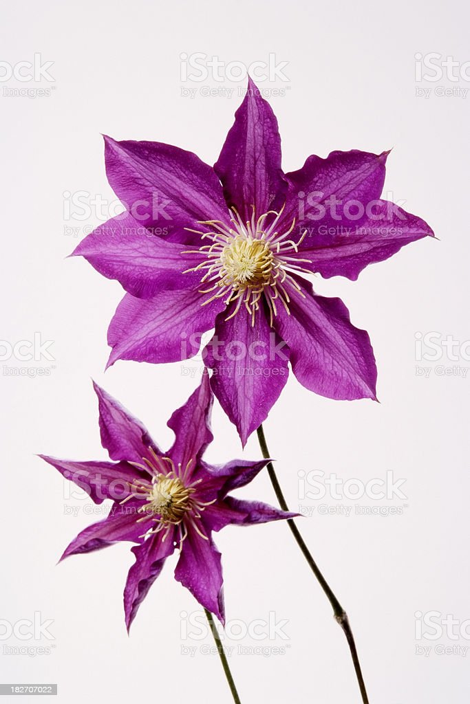Isolated shot of two Clematis against white background royalty-free stock photo