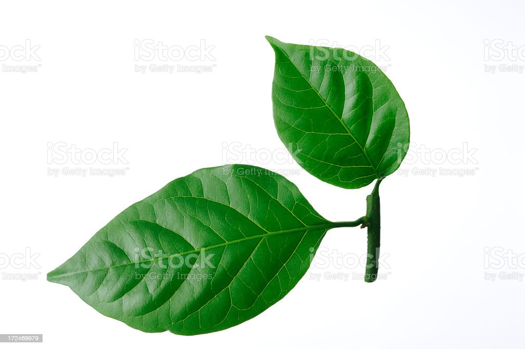 Isolated shot of two leaf on white background royalty-free stock photo