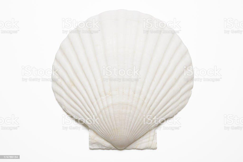 Isolated shot of white seashell on white background stock photo