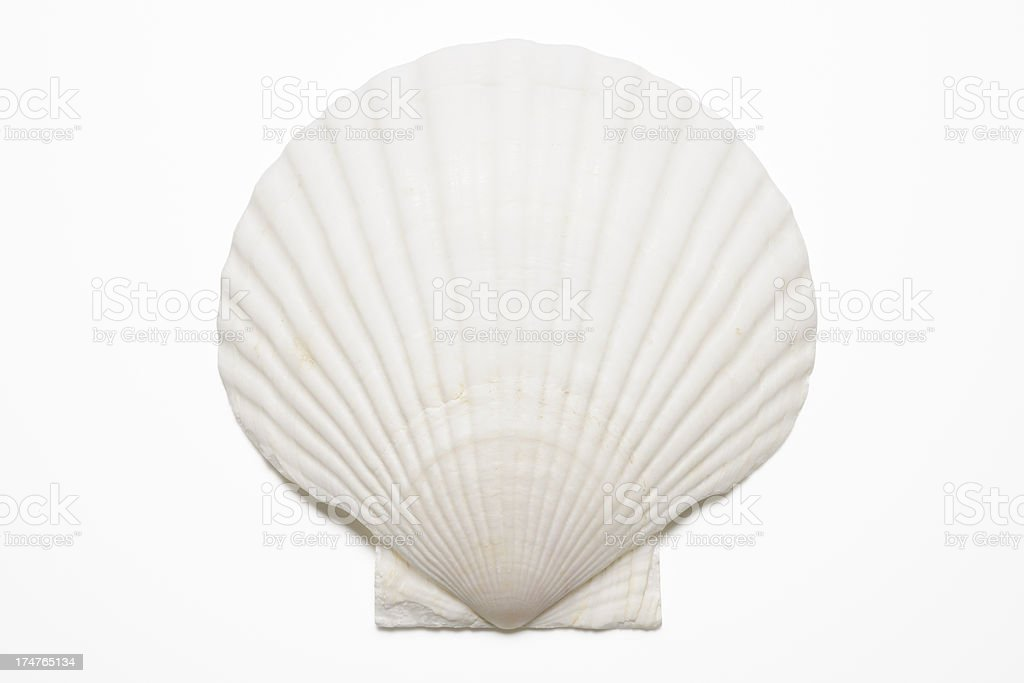 Isolated shot of white seashell on white background stock photo