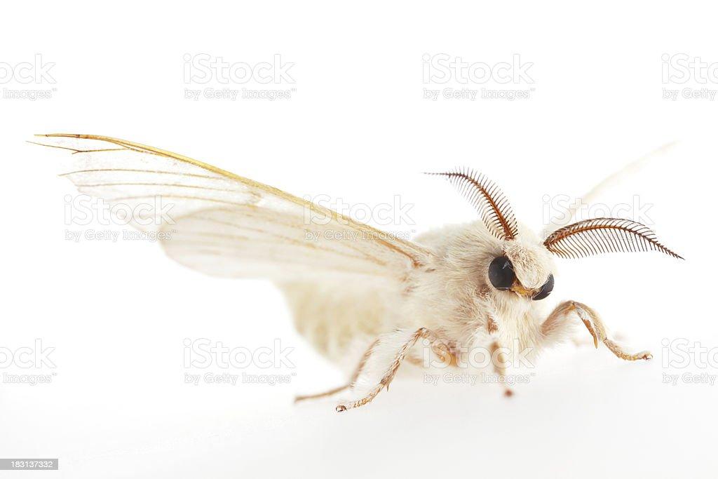 Isolated Silk Moth (XXL) stock photo