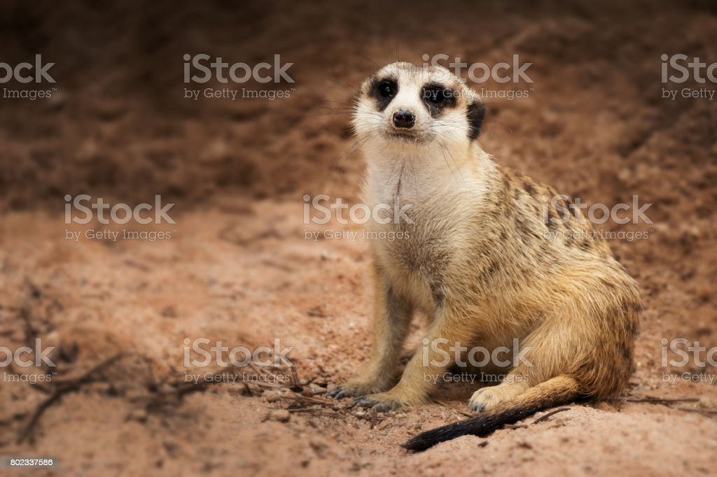 Isolated single dark bands on the back and a black-tipped tail meerkat (Suricate) sitting alone on the ground stock photo