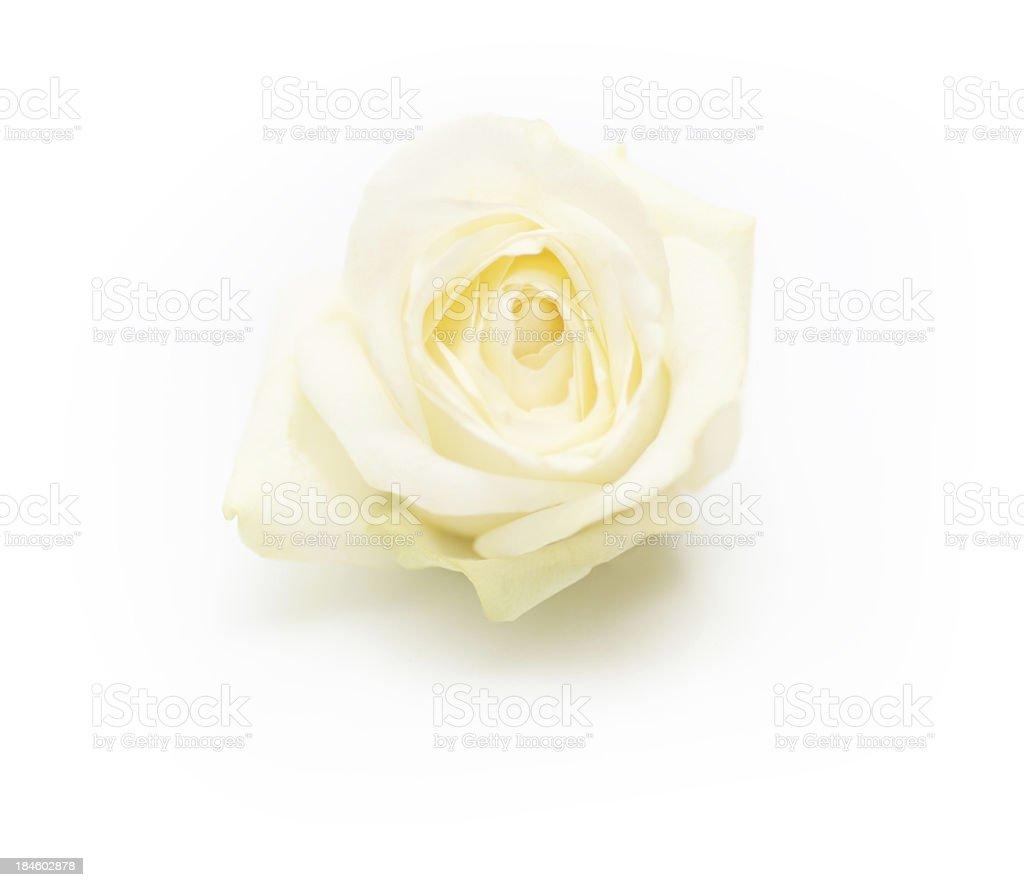 Isolated single white rose stock photo