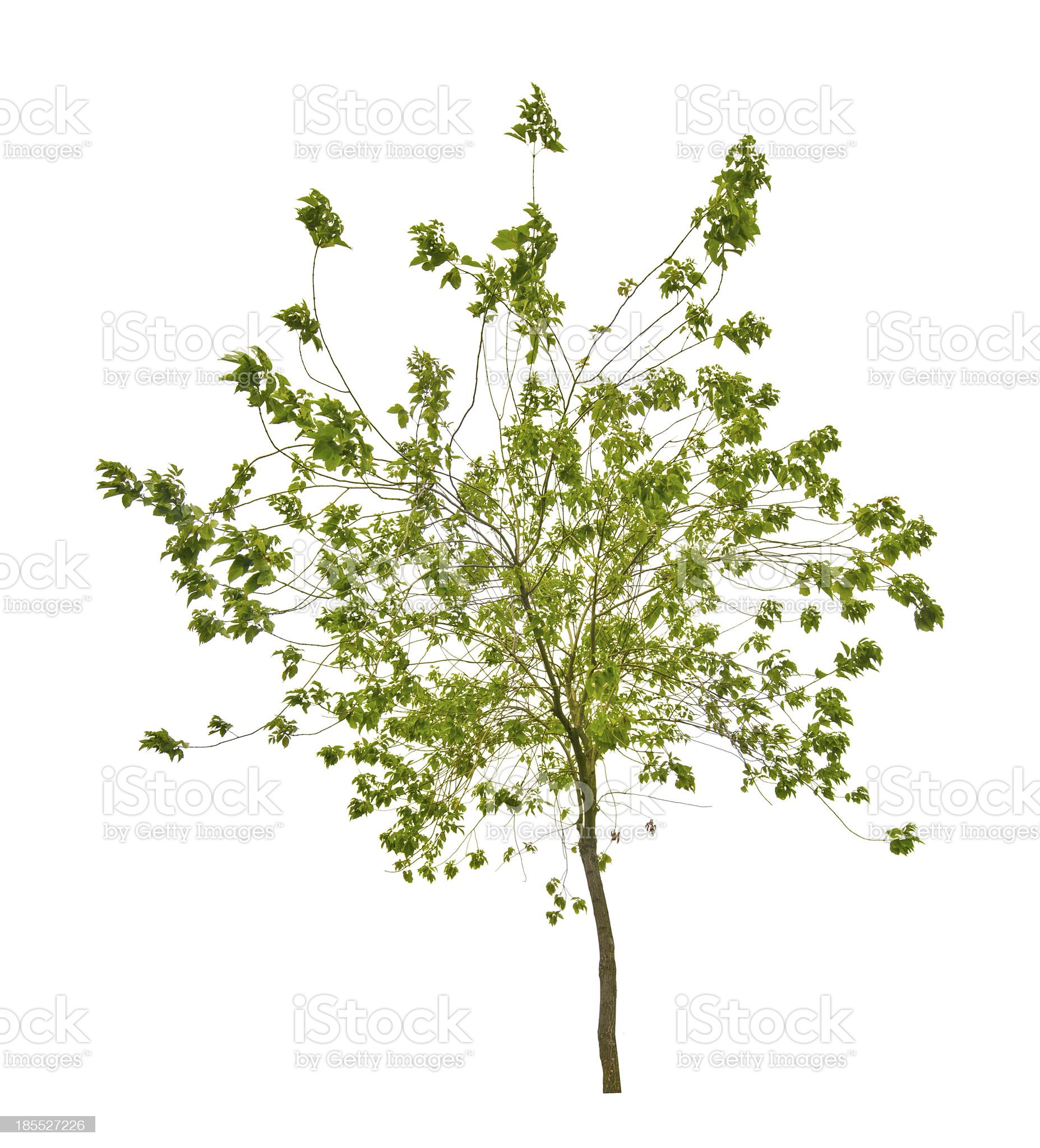 isolated small tree with green leaves royalty-free stock photo