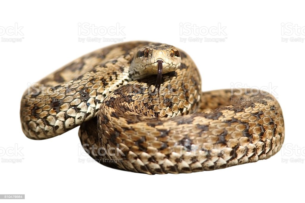 isolated snake ready to strike stock photo
