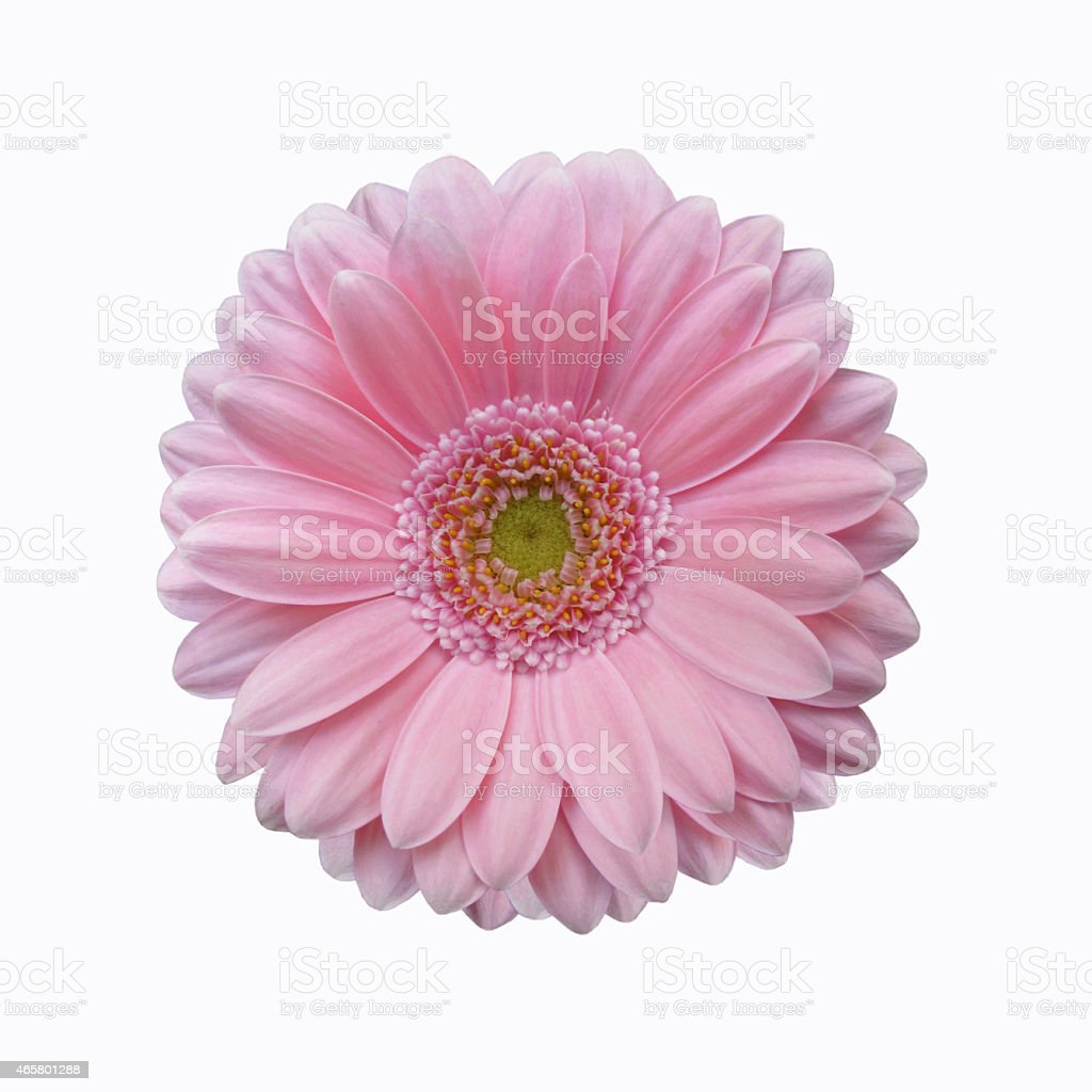 isolated soft pink gerbera daisy flower stock photo