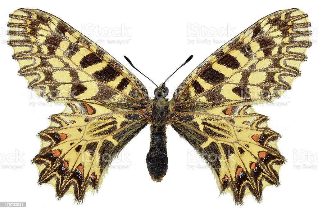 Isolated Southern Festoon butterfly royalty-free stock photo