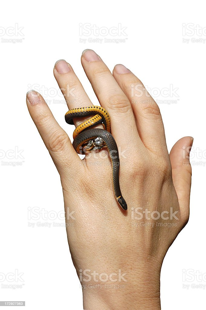 Isolated Southern Ringneck Snake Ringed Hand stock photo