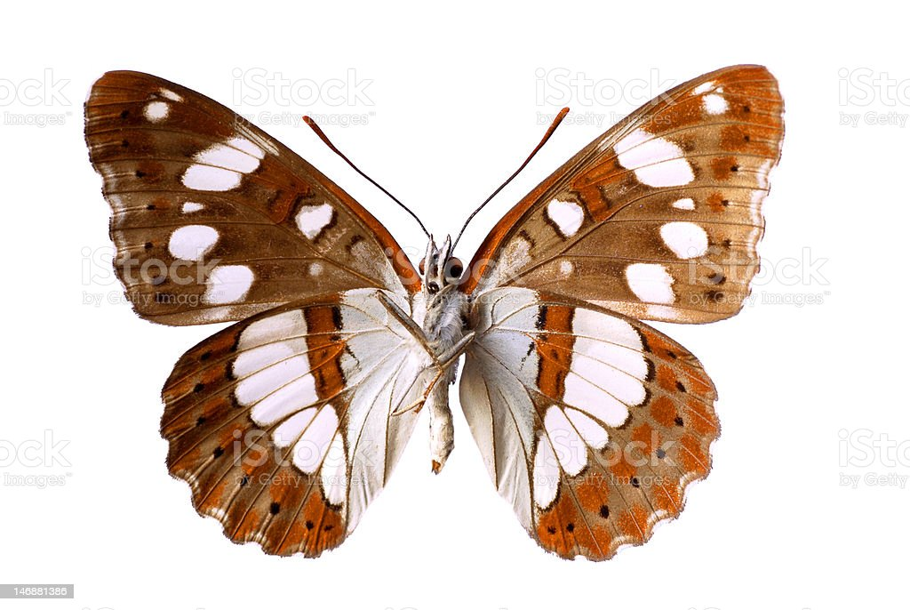 Isolated Southern White Admiral butterfly stock photo