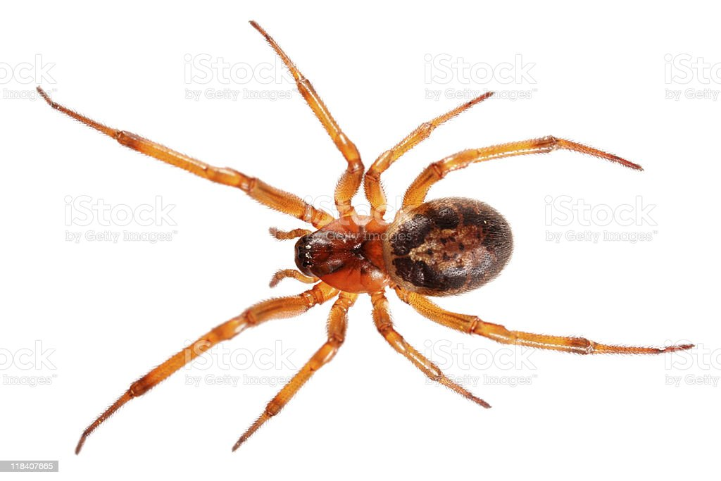 Isolated spider (XXL) royalty-free stock photo