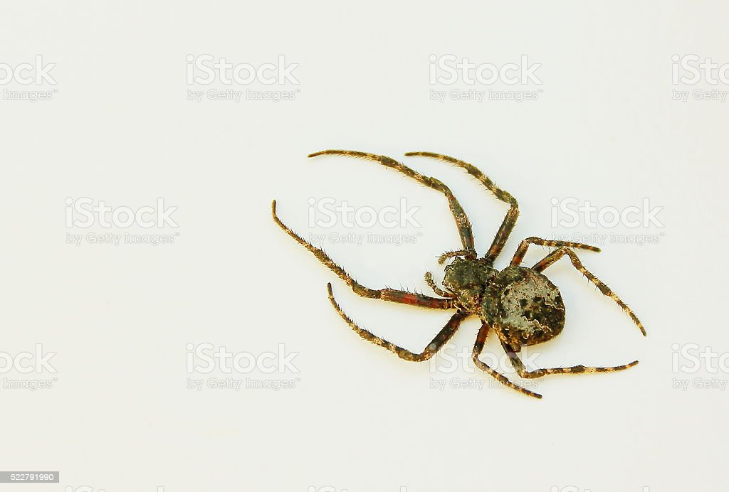 Isolated spider. stock photo