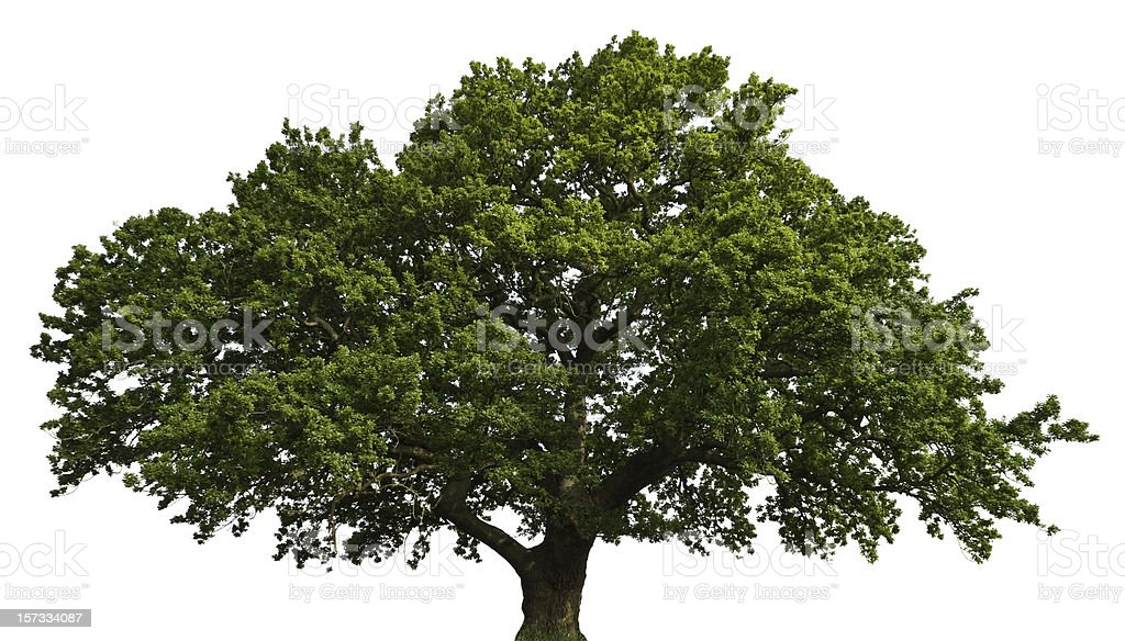 Isolated Summer Oak royalty-free stock photo