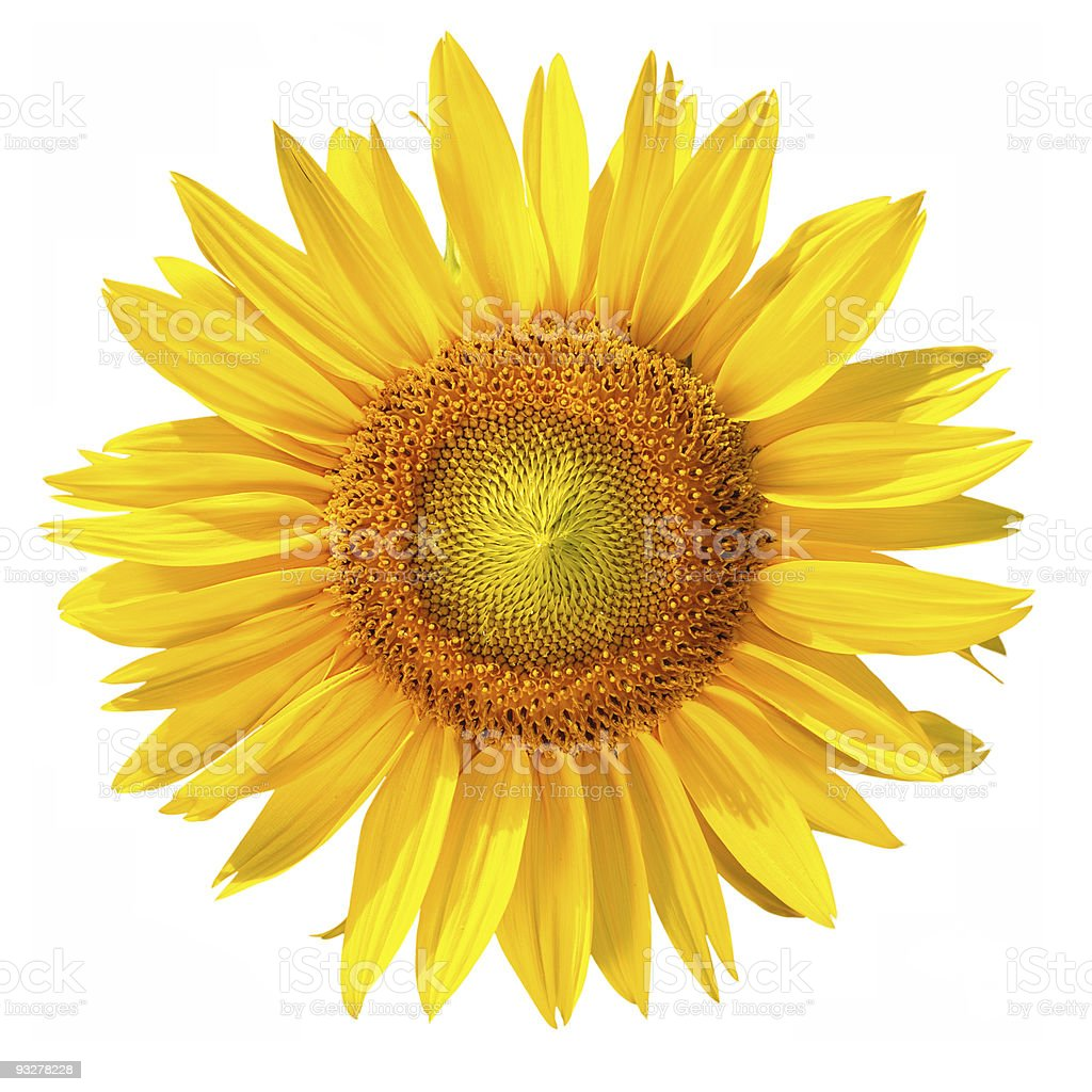 Isolated Sunflower head with clipping path, on white background royalty-free stock photo