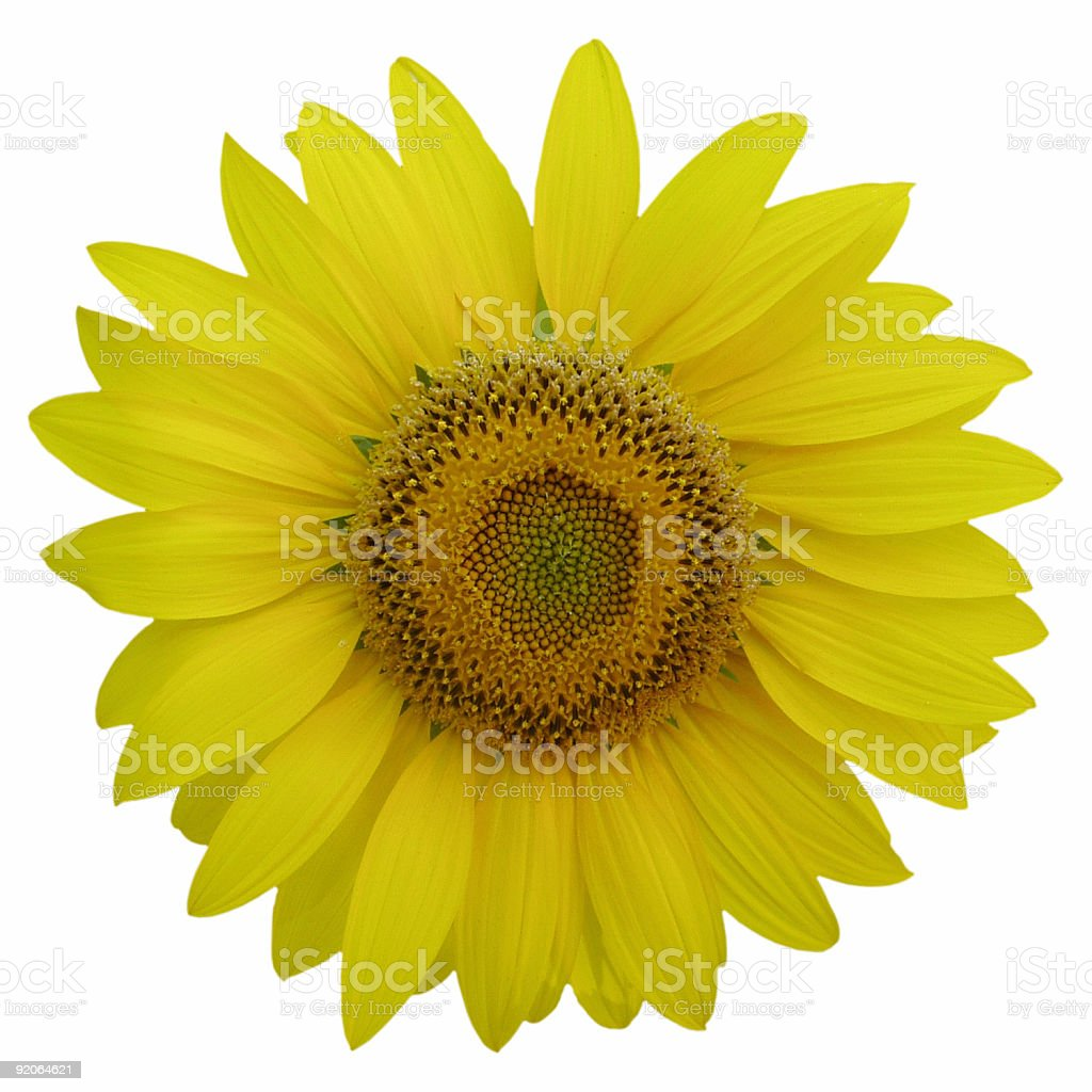 Isolated sunflower on white background royalty-free stock photo