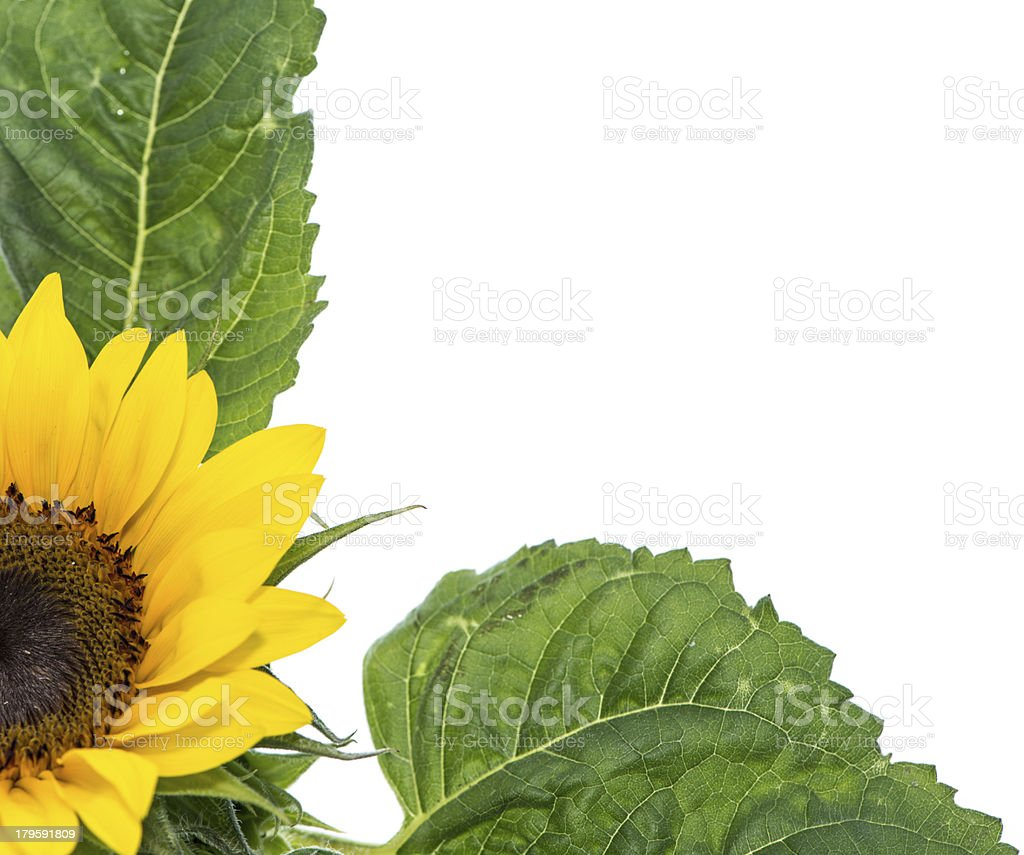Isolated Sunflowers royalty-free stock photo
