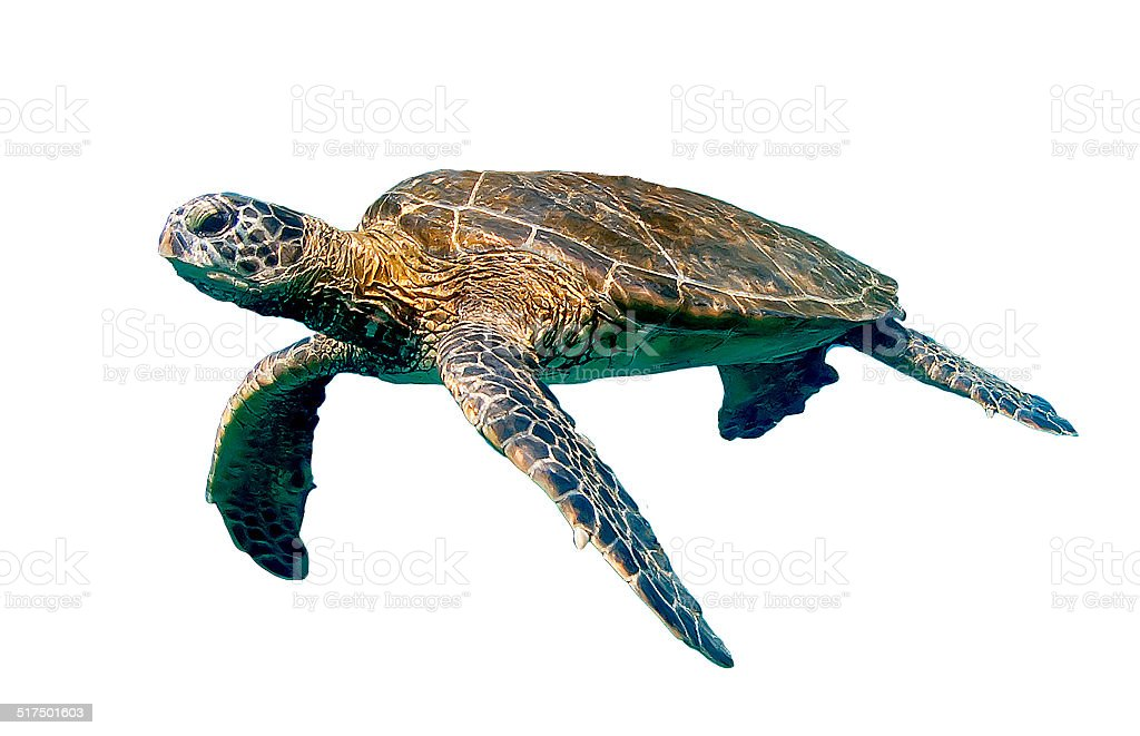 Isolated Swimming Sea Turtle stock photo