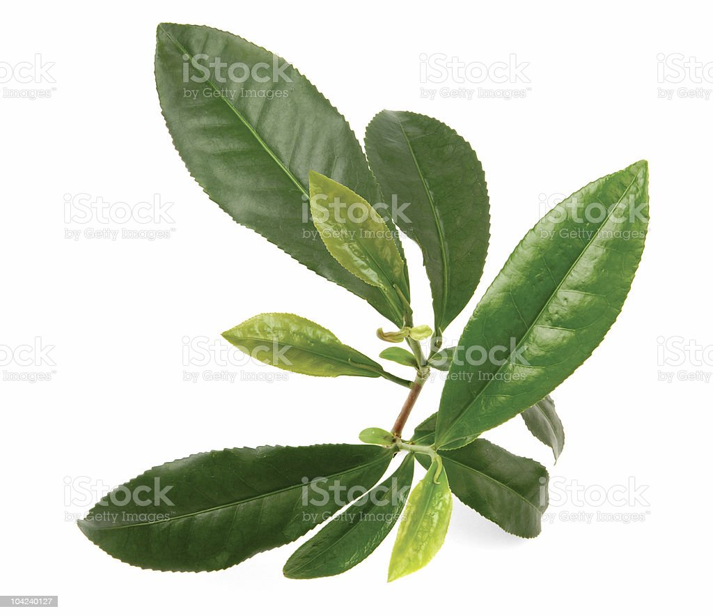 Isolated tea leaves on white background royalty-free stock photo