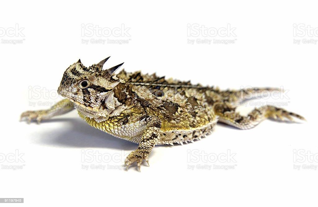 Isolated Texas Horned Lizard - Horny toad stock photo