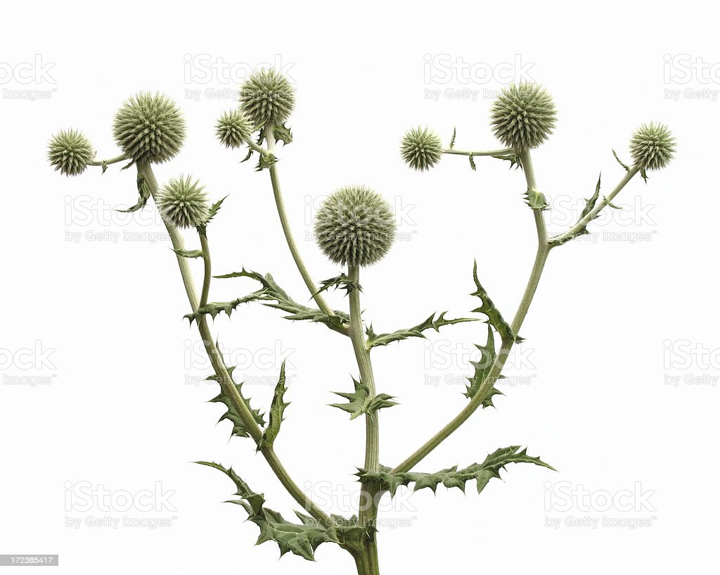 isolated thistle royalty-free stock photo