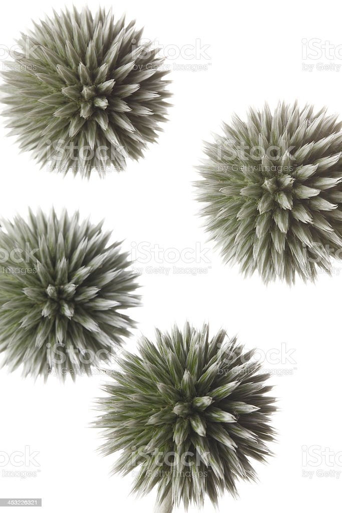isolated thistle stock photo