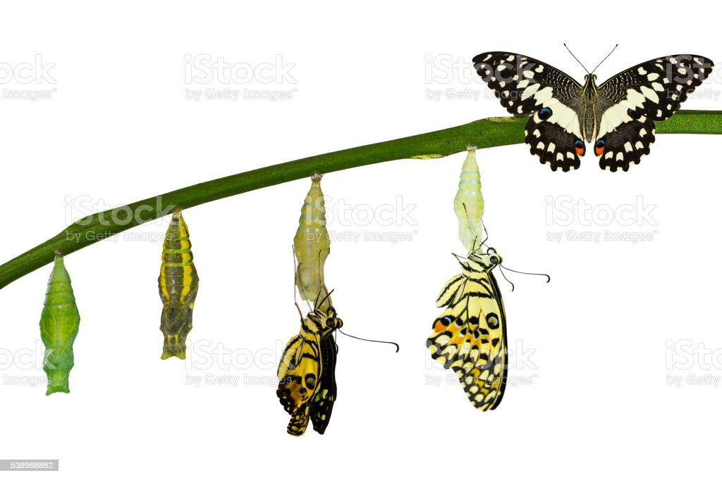 Isolated transformation of Lime Butterfly on white stock photo